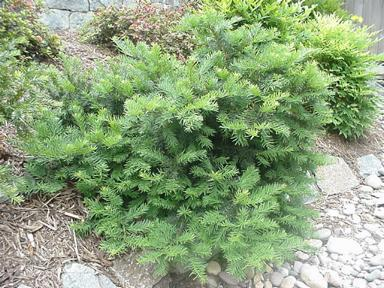 Taxus Baccata Repandens Spreading English Yew
