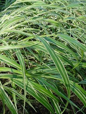 Hakonechloa macra 39 albo striata 39 white striped hakone grass for Low growing ornamental grasses